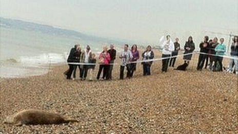 Grey seal and crowd at Seaford beach