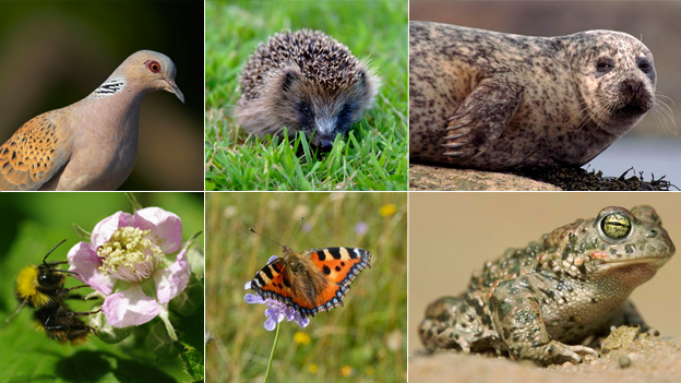 Turtle dove, hedgehog, harbour seal, early bumblebee, small tortoiseshell butterfly, natterjack toad (c) NaturePL / Photoshot / RSPB / Butterfly Conservation