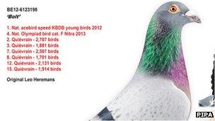 Bolt the pigeon