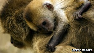Kopatch, a 15-year-old weeper capuchin monkey, carrying her one-week-old baby
