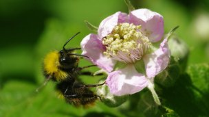 Early bumblebee (Bombus pratorum) (C) Will George