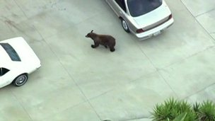 Watch the bear wander around Los Angeles