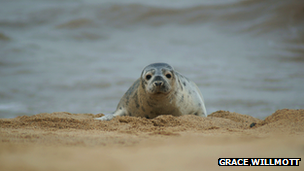Seal pup on a beach - Radleyfreak on Flickr