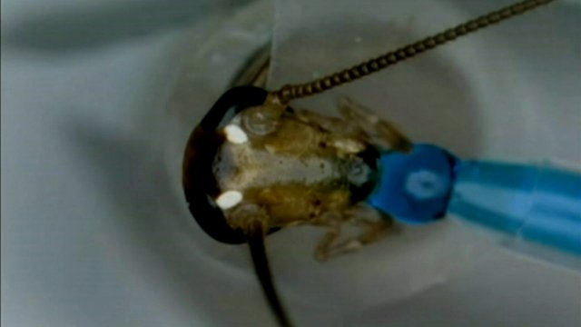 Cockroaches evolving to evade traps