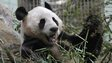 A panda at Edinburgh Zoo in Scotland, 16 April 2013