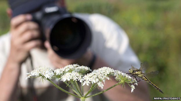 Photo of someone photographing a Black Tailed Skimmer; Orthetrum cancellatum; Cornwall; UK (c) David Chapman/NHPA/Photoshot
