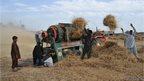 harvesting wheat crop