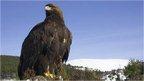 Golden eagle (Pete Cairns/NPL)