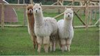 Alpacas at Fairytale Farm