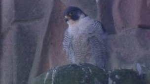 One of the peregrine falcons