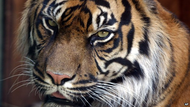 Keeper attacked by tiger in UK zoo