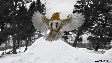 Robin flying with snowy background
