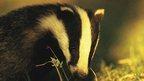 Badger: BBC Nature