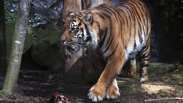 VIDEO: Zoo worker dies after tiger attack...