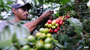Colombian farmer picking coffee beans