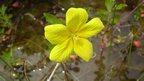 Water primrose (Ludwigia grandiflora)