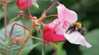 Himalayan Balsam flower and bee