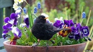 Blackbird on a plantpot via Flickr