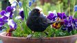 Blackbird on a plantpot via Flickr