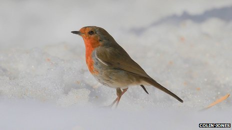 Robin stood in snow