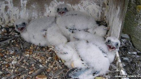 Chichester Cathedral peregrine falcon chicks