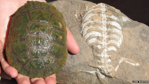 A living South African sideneck turtle (Pelusios niger) next to its 260-million-year-old relative, Eunotosaurus africanus