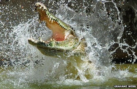 A crocodile thrashing in the water with its jaws open