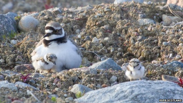 Little ringed plover chicks
