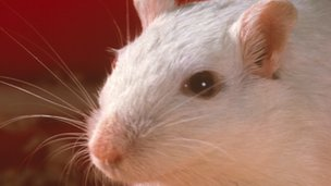 White laboratory mouse