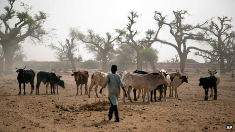 Man herds cattle in Sudan