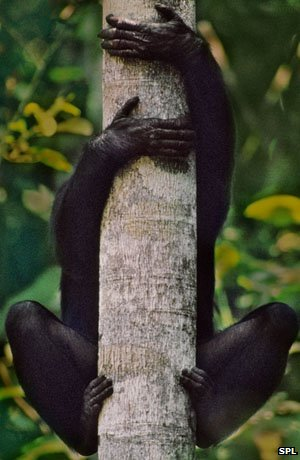 Bonobo on branch