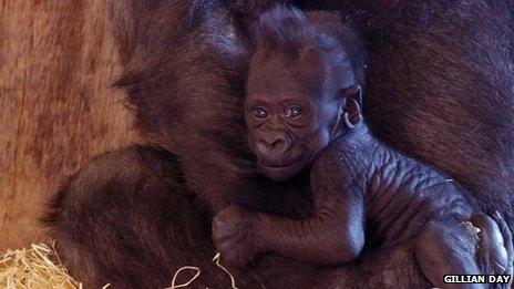 Lope baby gorilla