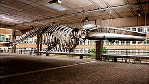 Whale skeleton, Museum of Zoology, Cambridge