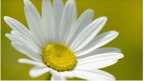 Oxeye daisy (c) Robert Pickett/ Photoshot