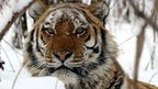 A Siberian tiger in the snow