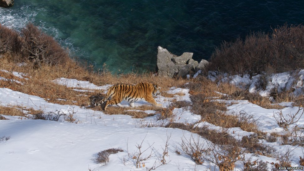 an introduction to the nature of the tiger The amur tiger is the largest and most impressive of the wild cats the amur tiger is exclusively carnivorous and feeds primarily on wild boar, elk, and deer.