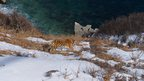 Wild Siberian tiger by the Sea of Japan