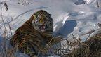 Siberian tiger snarling