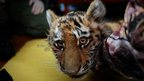 An orphaned Siberian tiger cub receives medical treatment