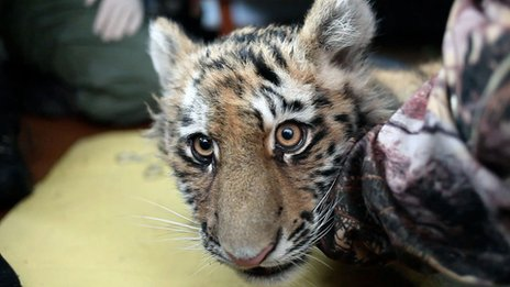 Orphaned Siberian tiger cub