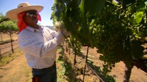 A man picks grapes in Napa Valley