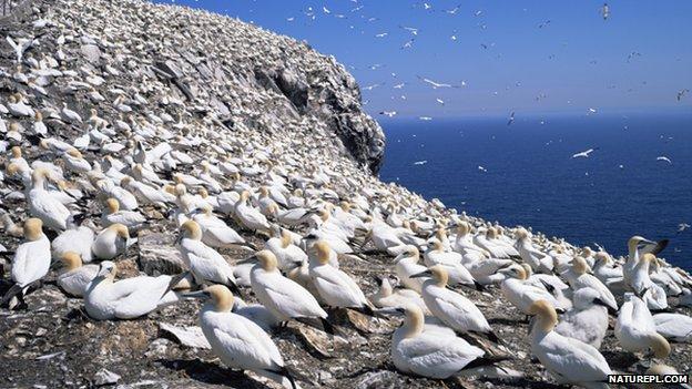 Gannet colony on Bass Rock
