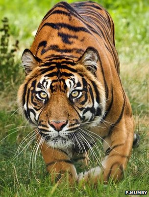 Sumatran tiger (Image: Phil Mumby)