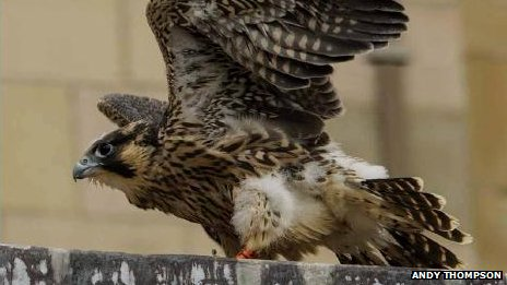 Norwich Cathedral peregrine falcon