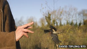 A dunnock is released after being ringed