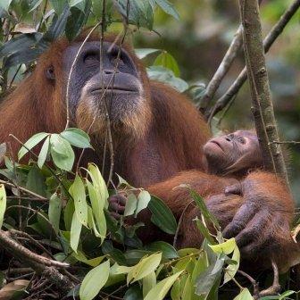 Orangutan and her baby