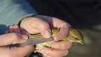 A greenfinch's wing is measured as part of the ringing process