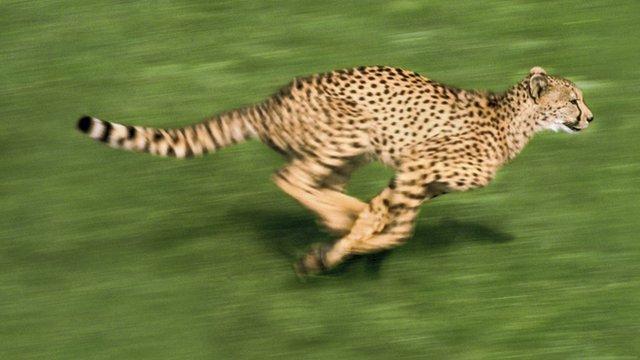 Cheetah running/SPL