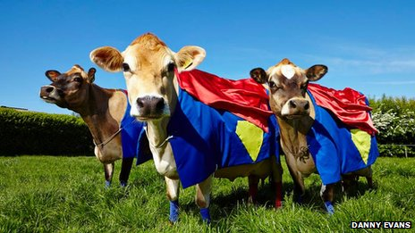 Jersey cows in capes
