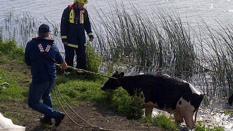 Cow being rescued from river
